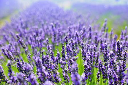 lavande: Lavender flower blooming scented fields