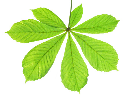 feuille arbre: feuille verte de châtaignier isolé