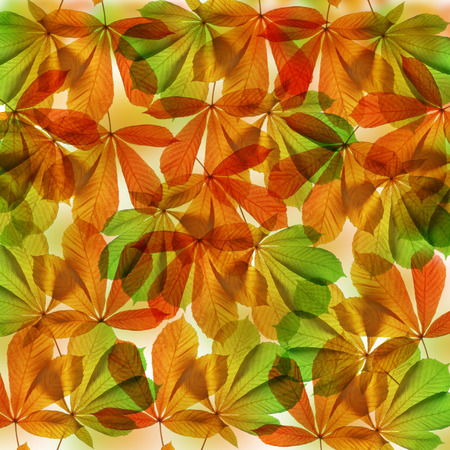auburn: Autumn leaves of chestnut tree Aesculus hippocastanum