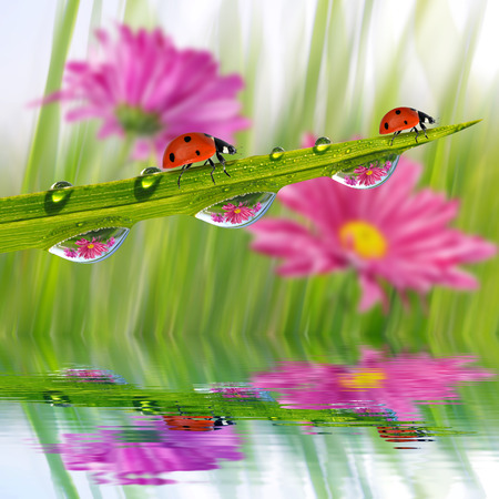 ladybug on leaf: Fresh green grass with dew drops and ladybugs closeup. Nature Background.