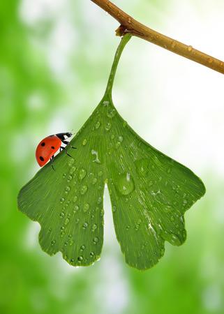 ladybug on leaf: ginkgo biloba leaf with dew drops and ladybird Stock Photo