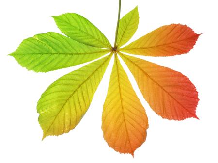 aesculus hippocastanum: Autumn leaves of chestnut tree Aesculus hippocastanum isolated on white background