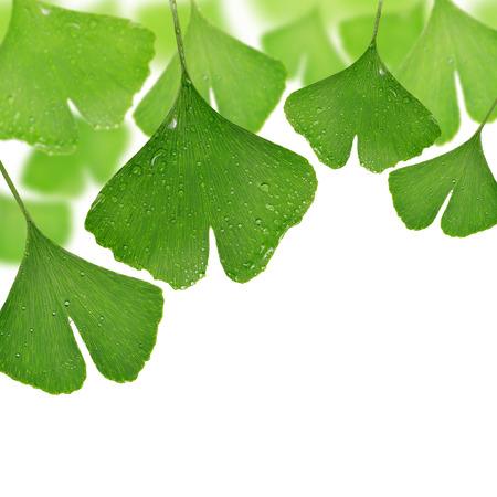hierbas: ginkgo biloba hojas con gotas de roc�o en el fondo blanco