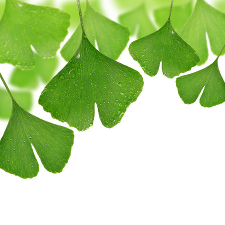 chinese herbs: ginkgo biloba leaves with dew drops on white background Stock Photo