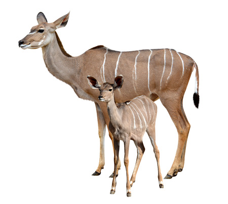 greater: greater kudu isolated on a white background