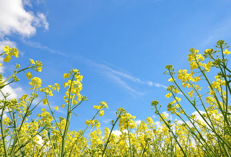 brassica: Flower of a rapeseed  Brassica napus  on blue sky