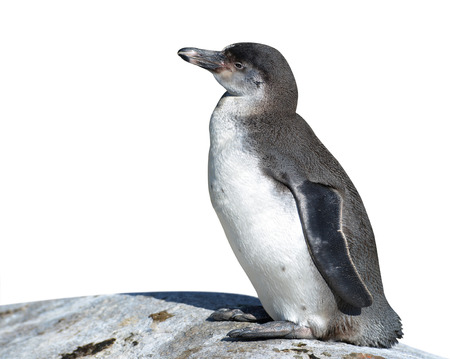polar life: The Humboldt Penguin Spheniscus humboldti on white background Stock Photo