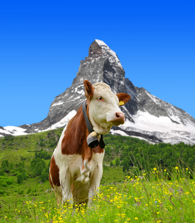 valais: Cow in the meadow.In the background of the Matterhorn - Pennine Alps, Switzerland