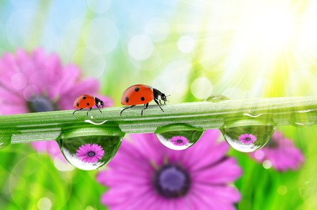 ladybird: Flowers in the drops of dew on the green grass and ladybirds. Nature background.