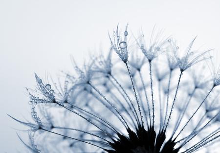 flower close up: Dewy dandelion flower close up Stock Photo