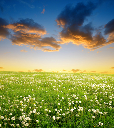 countryside landscape: Dandelions field in the sunset. Spring landscape.