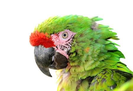 mexicana: Military macaw Ara militaris mexicana portrait isolated on white