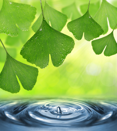 plantas medicinales: Ginkgo biloba hojas con gotas de rocío por encima del nivel del agua