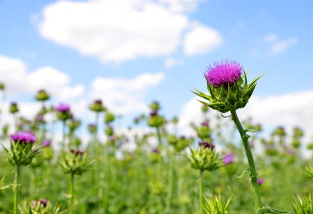 Field with Silybum marianum Milk Thistle , Medical plants.