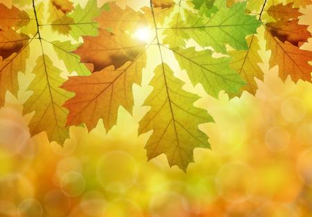gold tree: Autumn leaves of oak tree Stock Photo