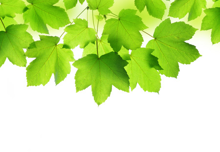 natural backgrounds: Spring leaves of maple tree
