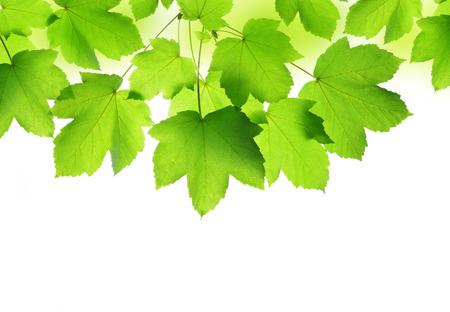 maple leaf: Spring leaves of maple tree