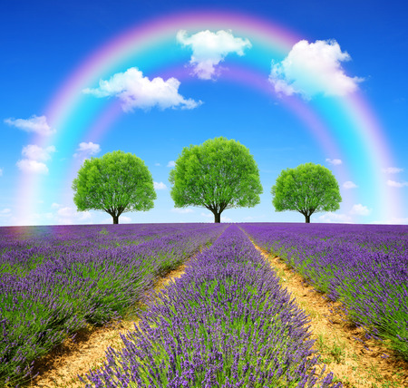 Rainbow above the lavender fields in Provence - France, Europe.