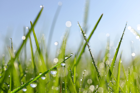 spring season: Fresh green grass with dew drops closeup. Nature Background Stock Photo
