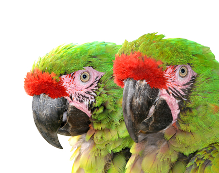 mexicana: Military macaw Ara militaris mexicana  isolated on white Stock Photo