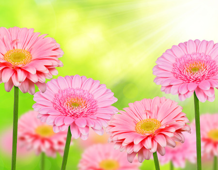 Pink gerbera flowers Stock Photo