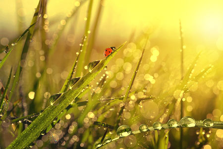 Fresh morning dew and ladybird at sunrise. Nature background.
