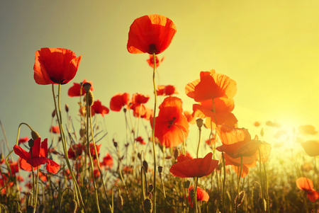 on field: Field of red poppies in bright evening light Stock Photo
