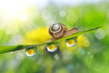 緑の草やカタツムリの露の滴のタンポポ。自然の背景。
