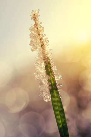beauty in nature: Frozen grass at sunrise close up. Nature background.