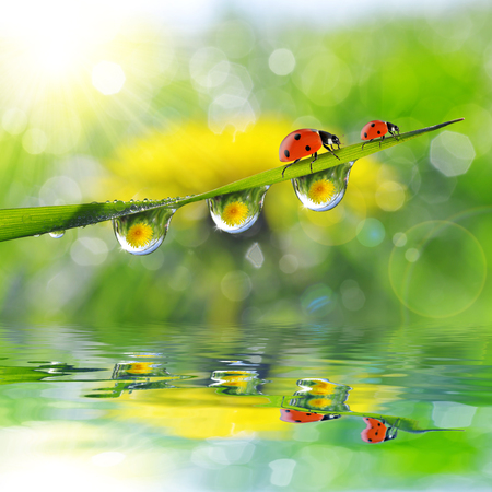 leaf water: Dandelion in the drops of dew on the green grass and ladybugs. Nature background. Stock Photo