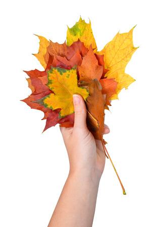 estaciones del año: Mujer mano que sostiene arce hojas aisladas sobre fondo blanco