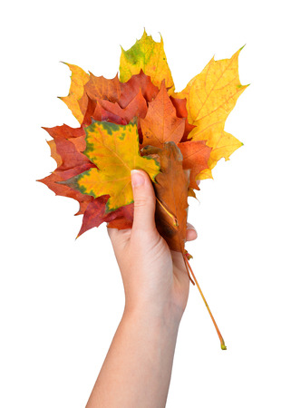 changing seasons: Woman hand holding autumn maple leaves isolated on white background