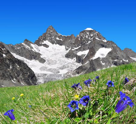 zermatt: Beautiful mountain Gabelhorn in the foreground blooming gentian, Pennine Alps, Switzerland