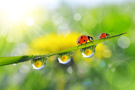 Dandelion in the drops of dew on the green grass and ladybugs. Nature background. Stock Photo