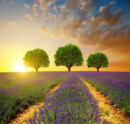 plants and trees: Lavender fields in Provence at sunset - France, Europe.