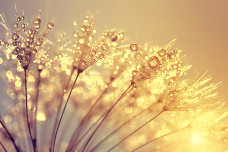 Dewy dandelion flower at sunset close up Stok Fotoğraf - 47993552
