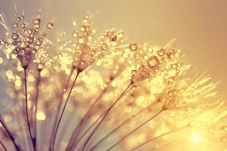 dewy: Dewy dandelion flower at sunset close up