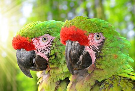 psittacidae: Military macaw Ara militaris mexicana