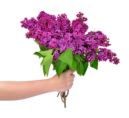 Blooming lilac flowers in hand isolated Stock Photo