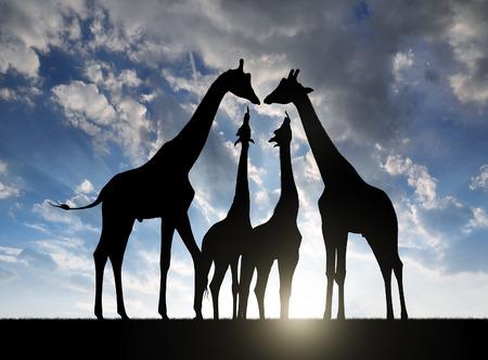 jirafa: Manada de jirafas en la puesta de sol Foto de archivo