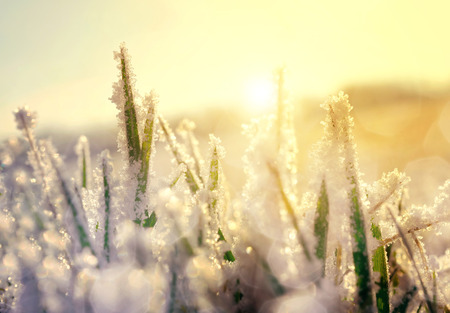 frost winter: Frozen grass at sunrise close up. Nature background.