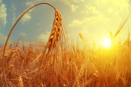 wheat kernel: Barley field at sunset. Fisheye shot. Stock Photo