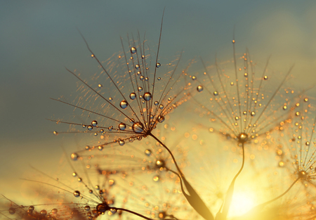 sunlight: Dewy dandelion flower at sunset close up