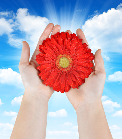 love and friendship: Dewy red gerbera flower in hands