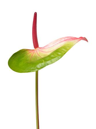 anthurium: Anthurium flower isolated on white background