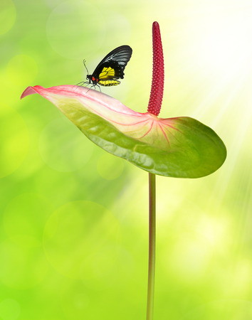 anthurium: Anthurium flower with butterfly on green natural background Stock Photo