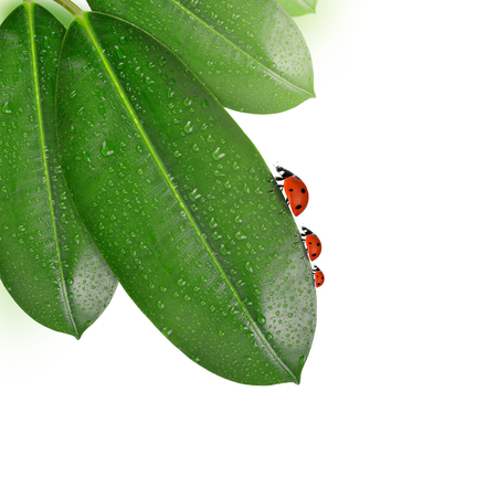 dewy: Dewy Ficus leaves with ladybugs isolated on white background