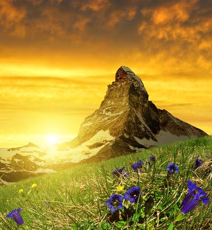 swiss alps: Piękna góra Matterhorn na pierwszym planie rozkwiecony gorycz na zachód słońca, Alpy Penne, Szwajcaria