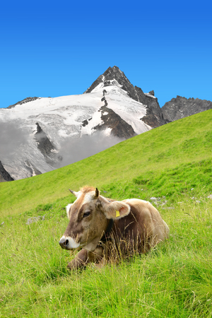 tauern: Cow in the meadow.In the background Grossglockner - National Park Hohe Tauern, Austria