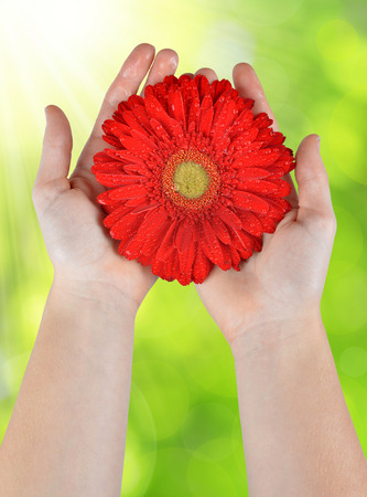 dewy: Dewy red gerbera flower in hands on the background natural green bokeh Stock Photo